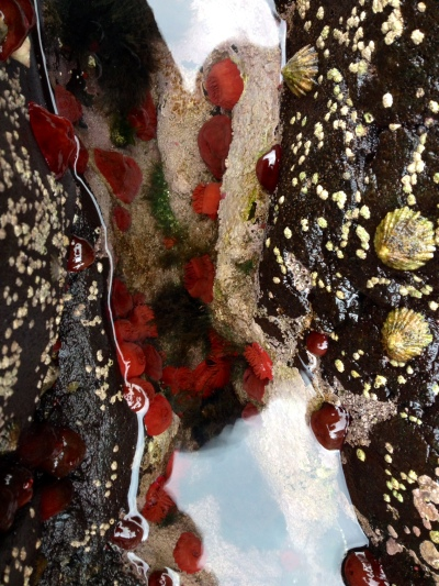 Colourful rockpools with red anemones