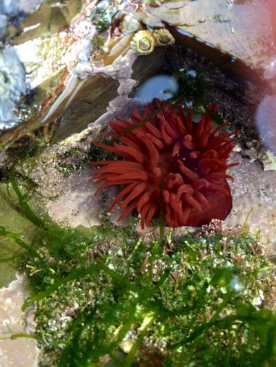 A sea anemone