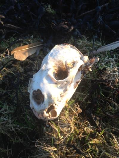 The otter skull