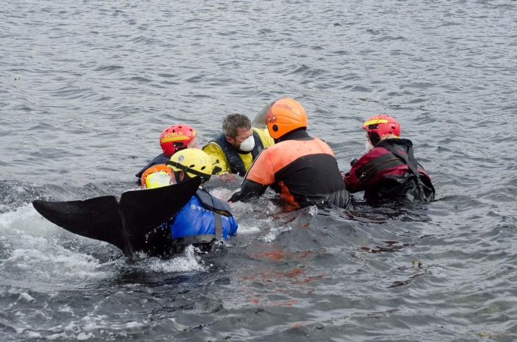Moving the whale in the waterto get the muscles working again. Mitchell and I are the two in masks at the head end.